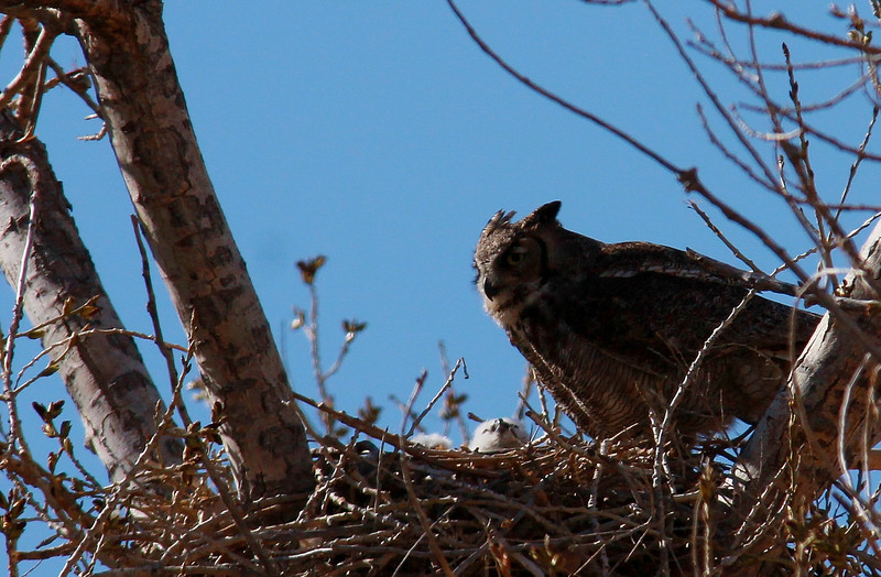 Great Horned Owl and Owlets (2)