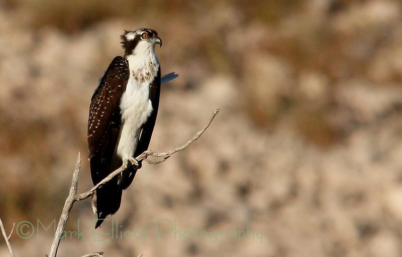 Osprey (23)