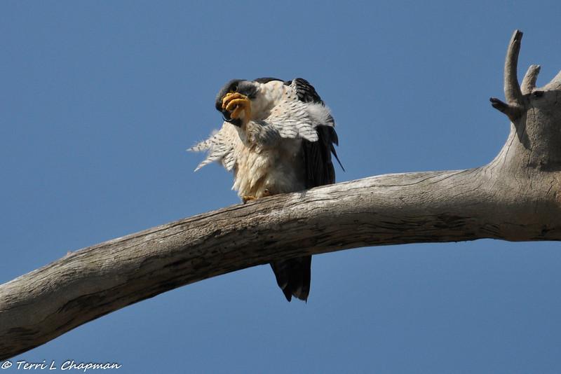 Peregrine Falcon grooming