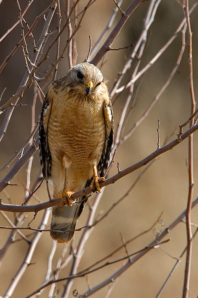 red-shouldered-hawk6a
