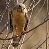 red-shouldered-hawk6a