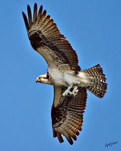 Banded Osprey