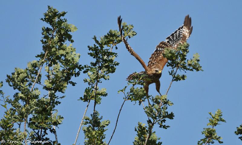 Red-shouldered Hawk taking flight