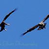 Bald Eagle (119)
