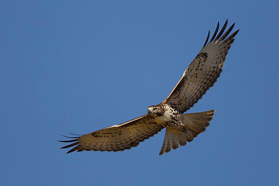red-tailed-hawk40