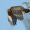 red-shouldered-hawk18