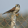 "An American Kestrel (female) eating a Jerusalem cricket (a.k.a ""potato bug"")"