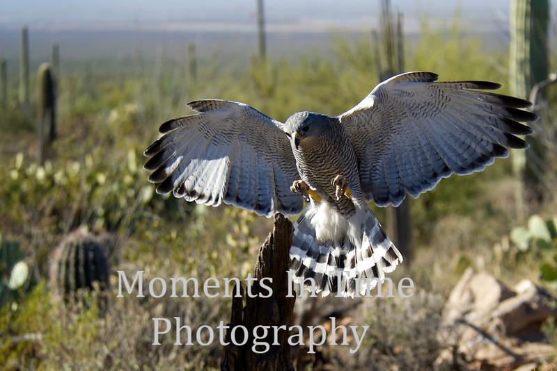 Hawk gray (asturina nitida, or buteo nitidus)