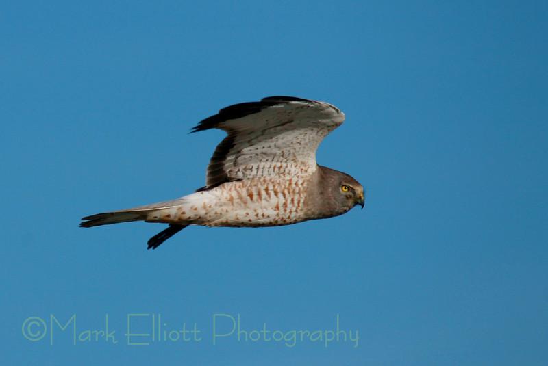 Northern Harrier (28)