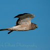 Northern Harrier (28)