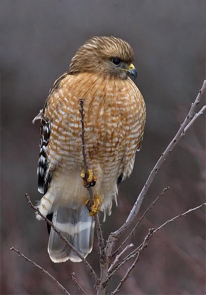 red-shouldered-hawk1a