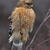 red-shouldered-hawk1a