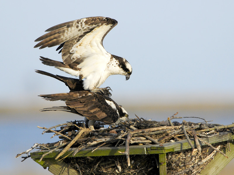 Osprey Pair Mating