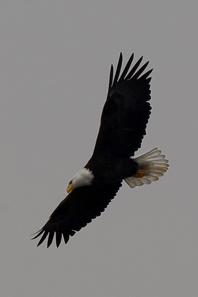 eagle41