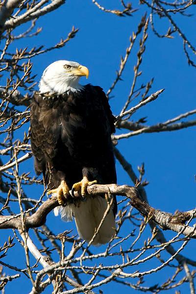 Bald eagle (Ft. Gibson Dam)