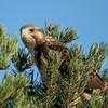 Swainson's Hawk (54)