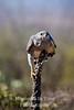 Hawk, Gray (asturina nitida; or buteo nitidus)