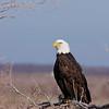 Bald Eagle (310)