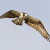 osprey8