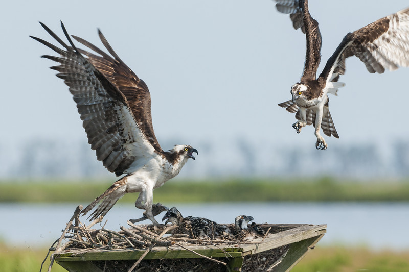 Osprey Mother Driving Off an Intruder