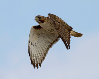 red-tailed-hawk29