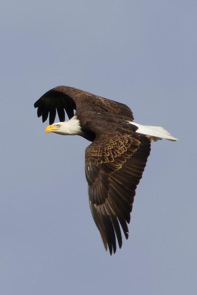 eagle35
