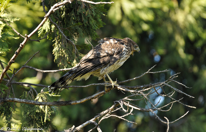 Cooper's Hawk (fledgling) calling out to his siblings