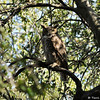 A Great Horned Owl perched in an Oak tree