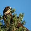 Swainson's Hawk (61)