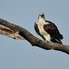 Osprey (60)