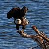 Bald Eagle (165)