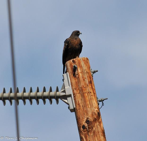 A dark morph Red- tailed Hawk perched on a telephone pole in Malibu, CA
