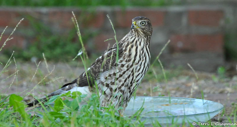 A juvenile Cooper's Hawk cooling off in a water bowl in my backyard