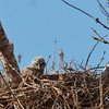 Great Horned Owlet (4)