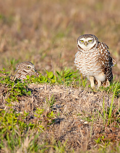 Burrowing Owl - Pair