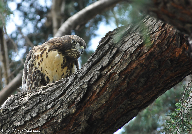 Red-tailed Hawk (juvenile)