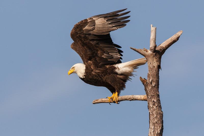Bald Eagle - Take Off