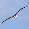 osprey9