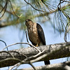 An adult Cooper's Hawk