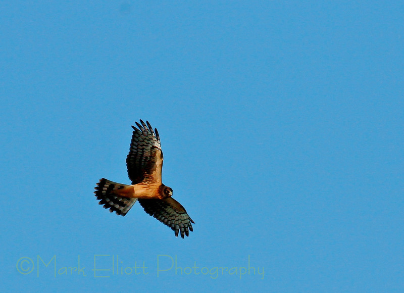 Northern Harrier (18)