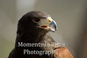 Harris hawk profiled