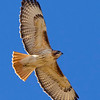 red-tailed-hawk13