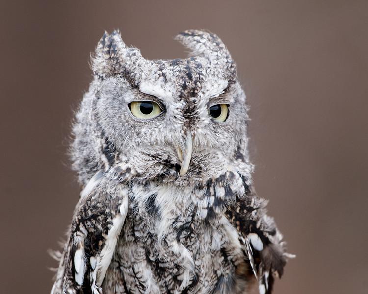 Eastern Screech Owl - Grey Phase - (Captive)