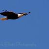 Bald Eagle (345)