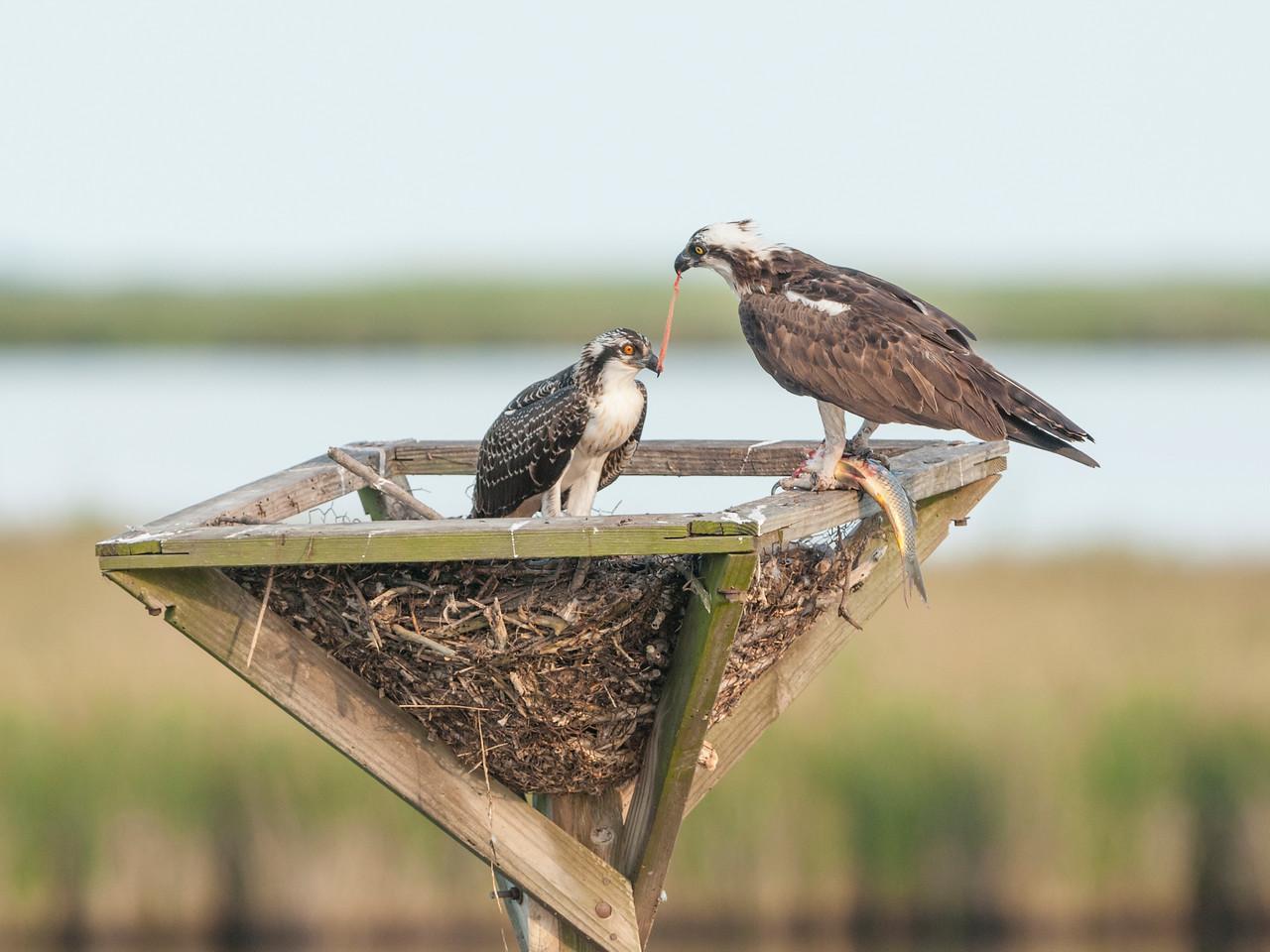 Osprey Mother Feeding Chick