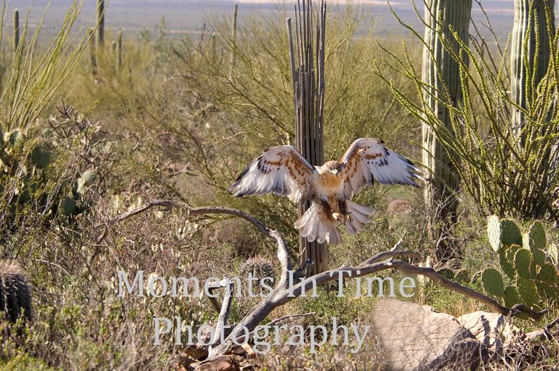 Feruginous hawk landing