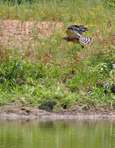 Same Hawk taking off after getting a drink from my Pond.