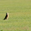 Burrowing Owl (19)