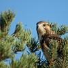Swainson's Hawk (55)