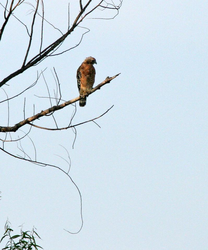 Taken with my 20D+Bigma Lens. Red-Shouldered Hawk.